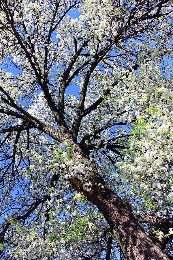 Dupont Circle Cherry Blossoms - 5a Photograph