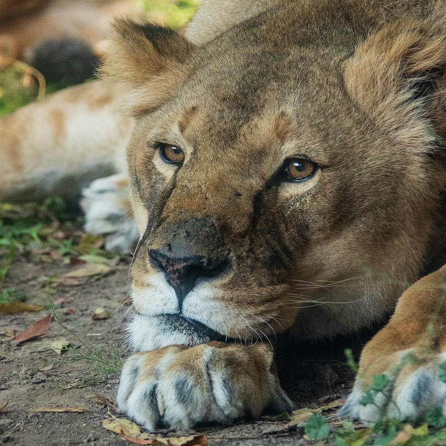 Zoo Boise Photograph - Watchful Rest by Melissa Southern