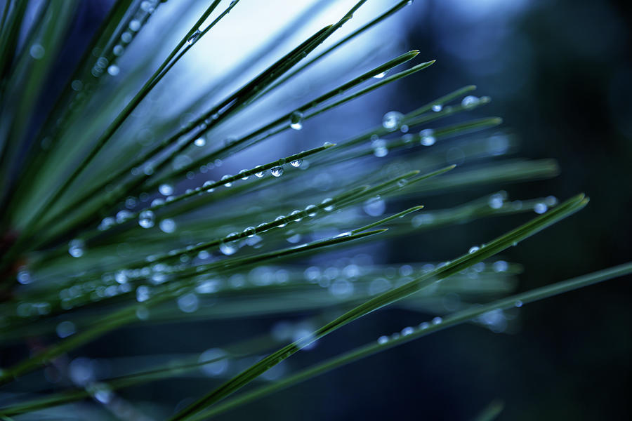 Water Drops On Pine Needles by James Eddy