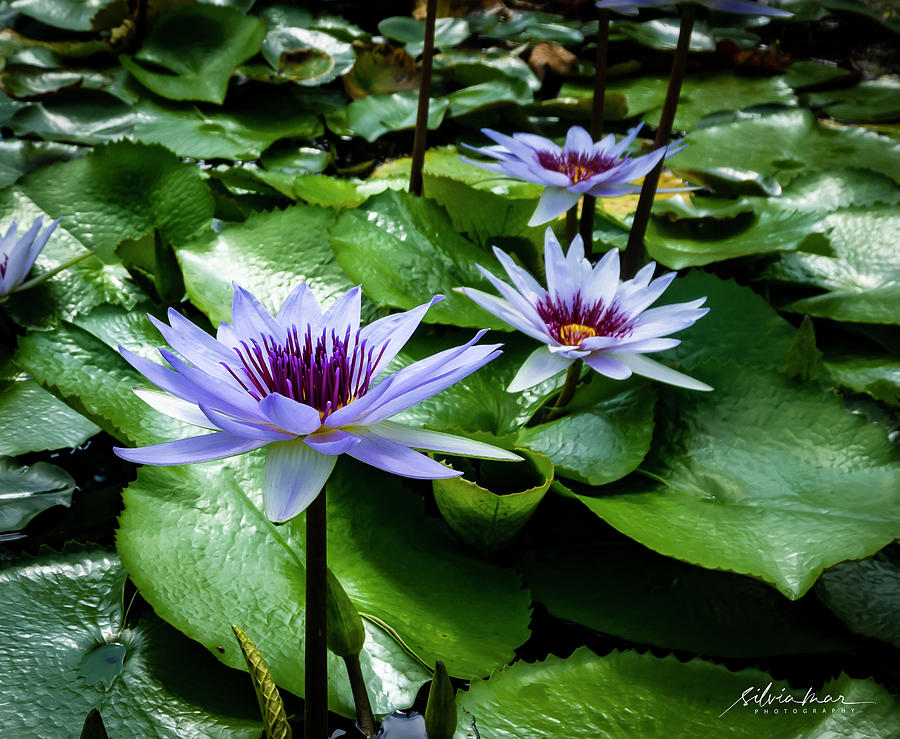 Water Lilies 3 by Silvia Marcoschamer