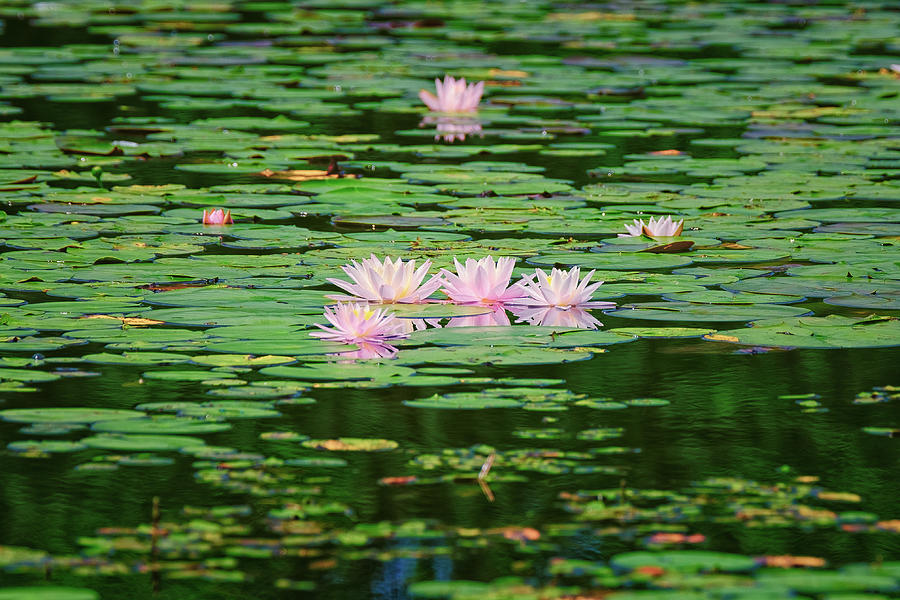 New Hampshire Photograph - Water Lilies  by Jeff Sinon
