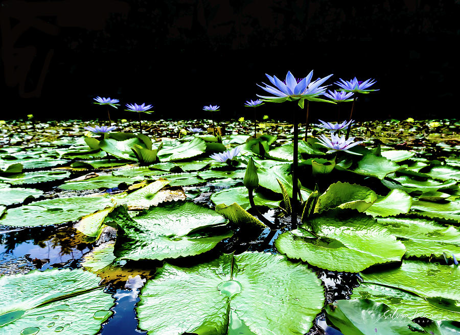 Water Lilies by Silvia Marcoschamer