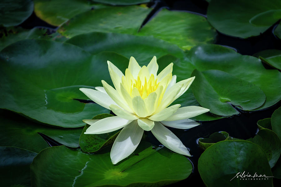 Water lily 2 by Silvia Marcoschamer