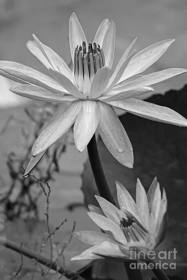 Flower Photograph - Water Lily, In Black And White by Banyan Ranch Studios