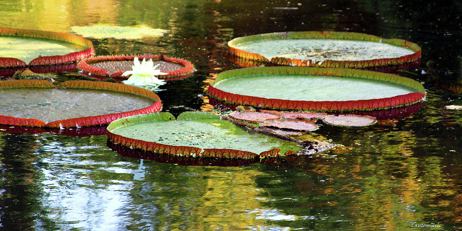 Garden Pond Photograph - Water Lily on Golden Pond by John Lautermilch