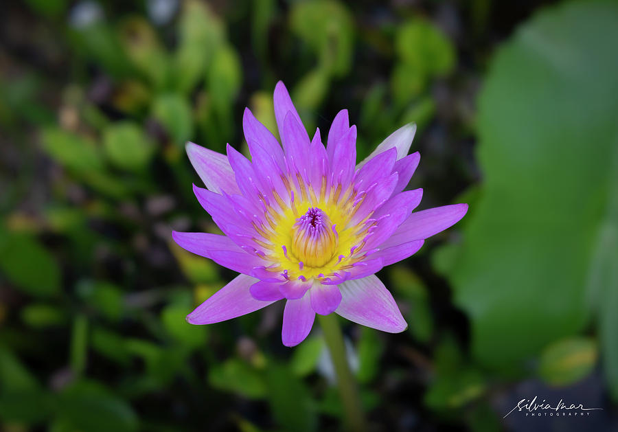 Water Lily by Silvia Marcoschamer