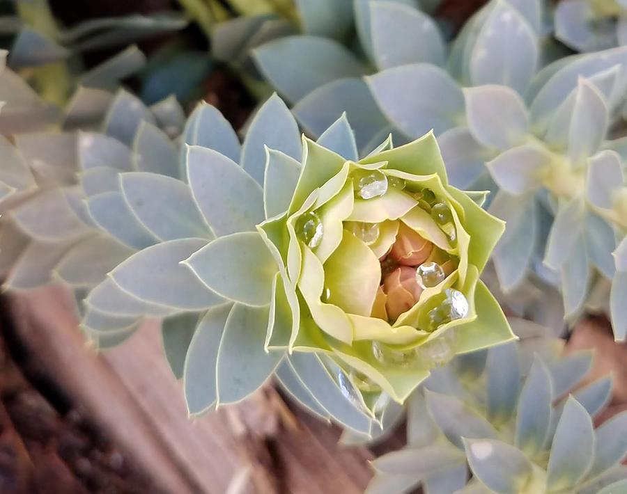 Succulent Plant Photograph - Waterbead on Succulent by Bonnie McKeegan