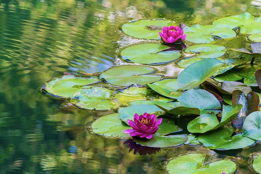 Waterlilies At Gibbs Gardens Photograph