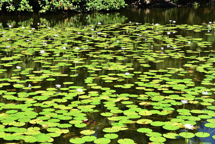 Waterlilies Photograph