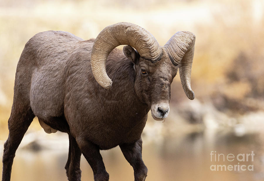 Waterton Bighorn By The Platte Photograph