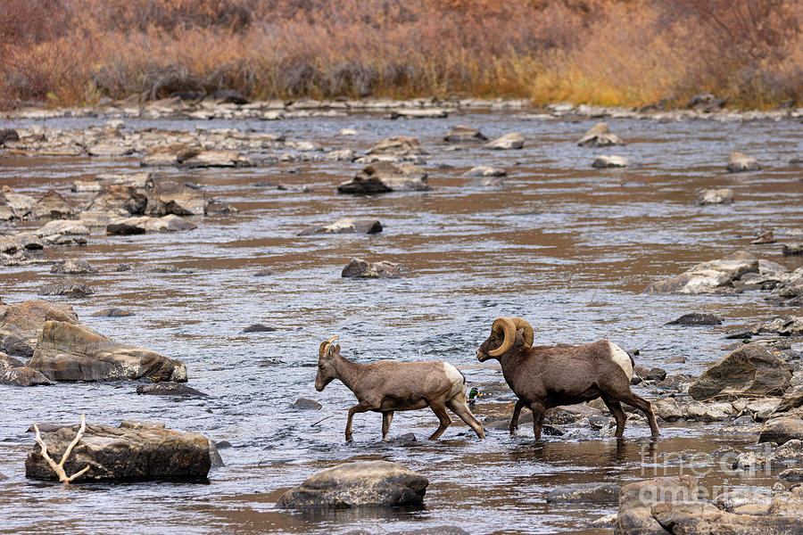 Waterton Bighorn Mates In The River Photograph