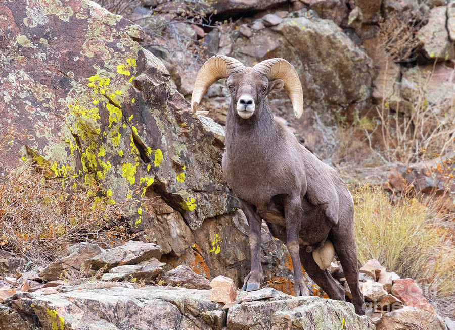 Waterton Bighorn On The Cliff Photograph