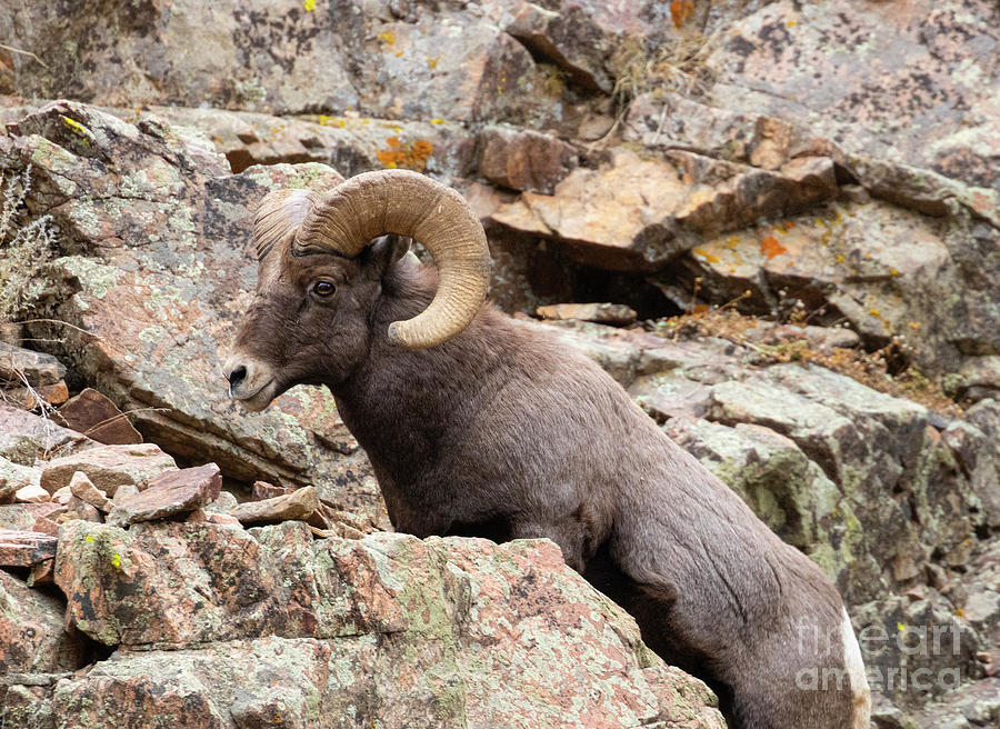 Waterton Bighorn On The Rocks Photograph