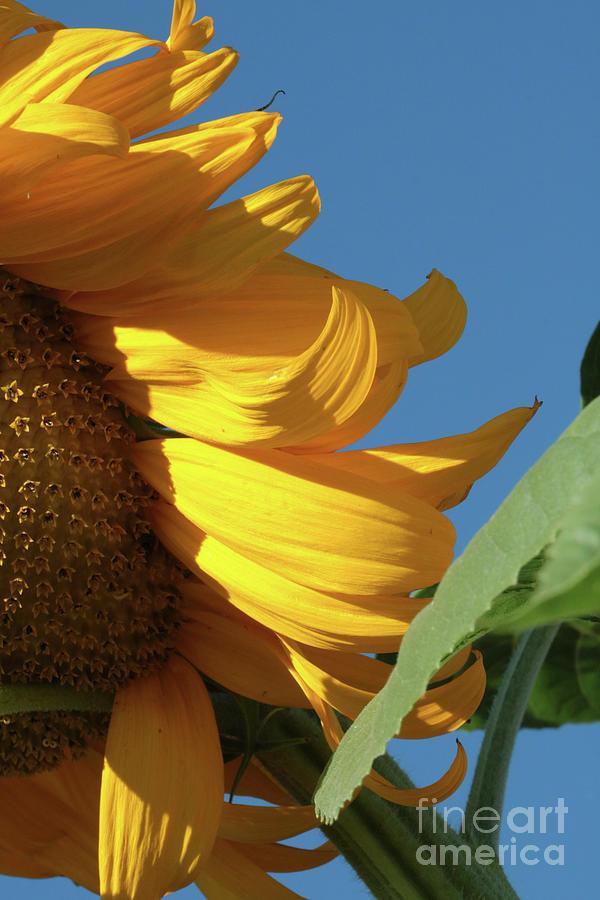 Wavy Sunflower Photograph