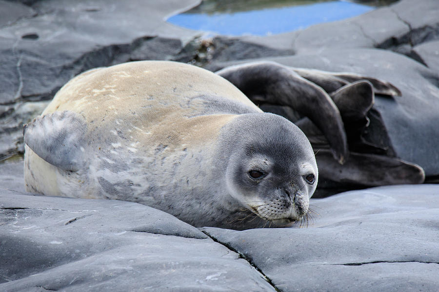 Weddell Seal Astrolabe Island Photograph