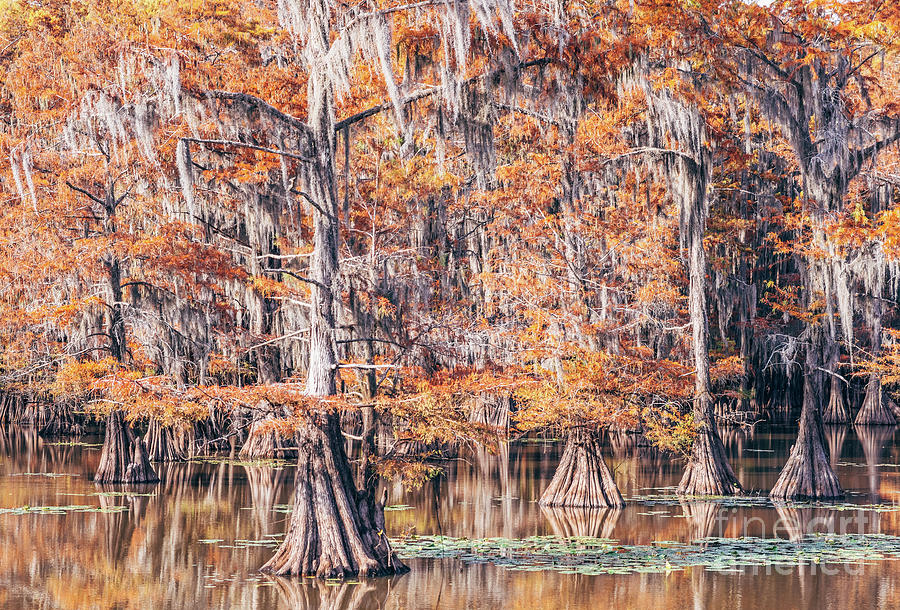 Weeping Bald Cypresses with Spanish Moss at Mill Pond - Caddo Lake State Park - Karnack East Texas  by Silvio Ligutti