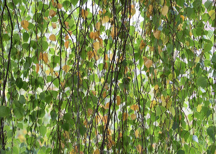 Weeping Birch In Autumn Photograph