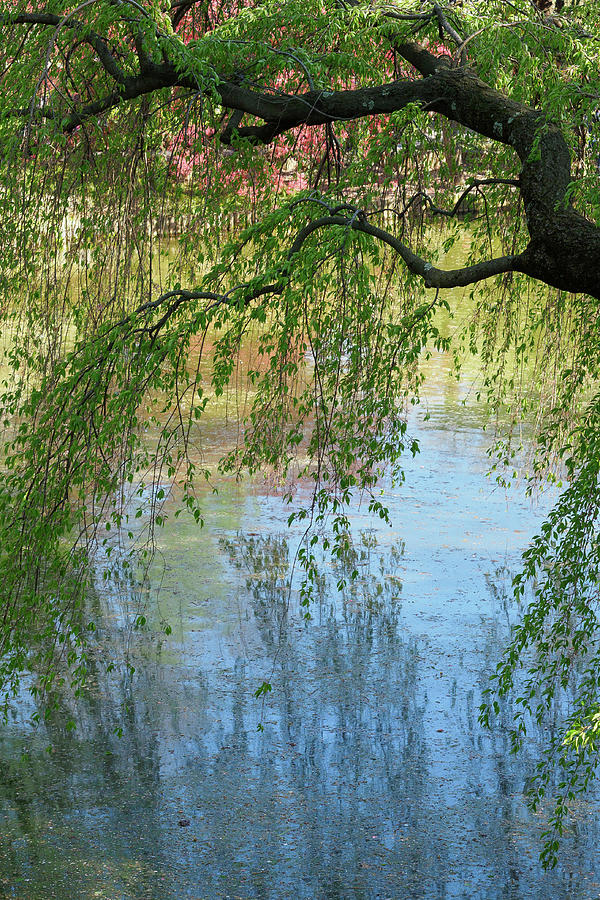 Weeping Higan Cherry Tree at the Brooklyn Botanic Garden Photograph by Stephen Russell Shilling