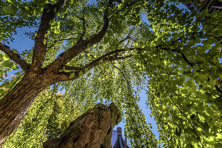 Weeping Willow Photograph