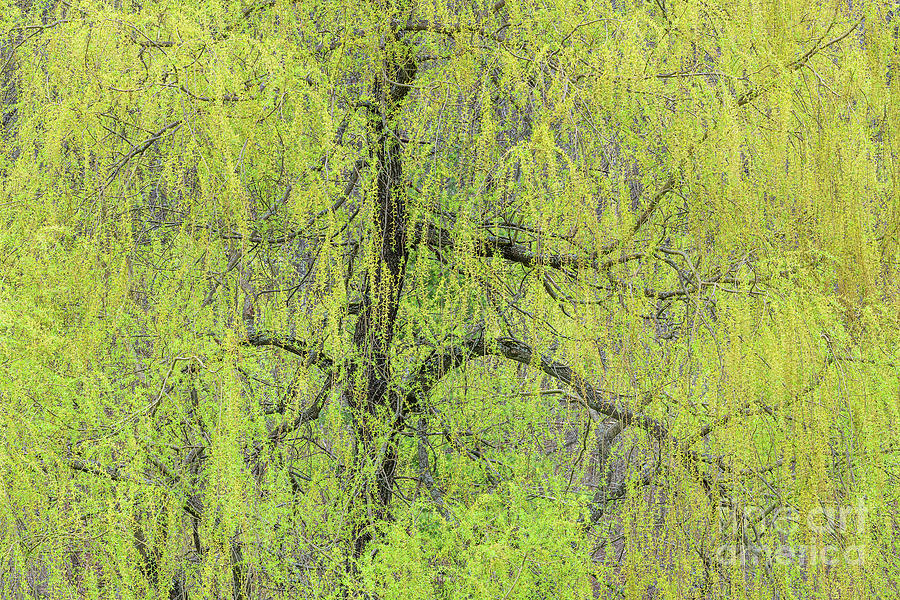 Weeping Willow Spring Photograph
