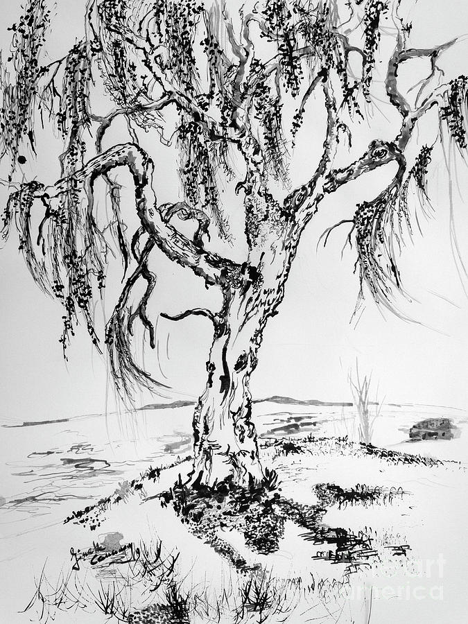 Weeping Willow Tree Ink Drawings by Ginette Callaway