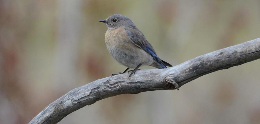 Western Bluebird- Female Photograph