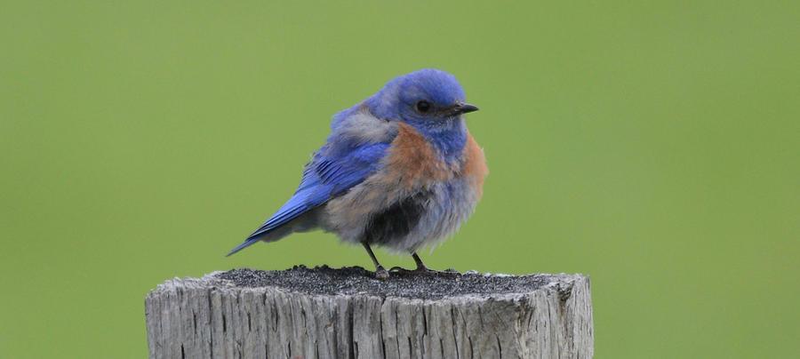 Western Bluebird- Male Photograph