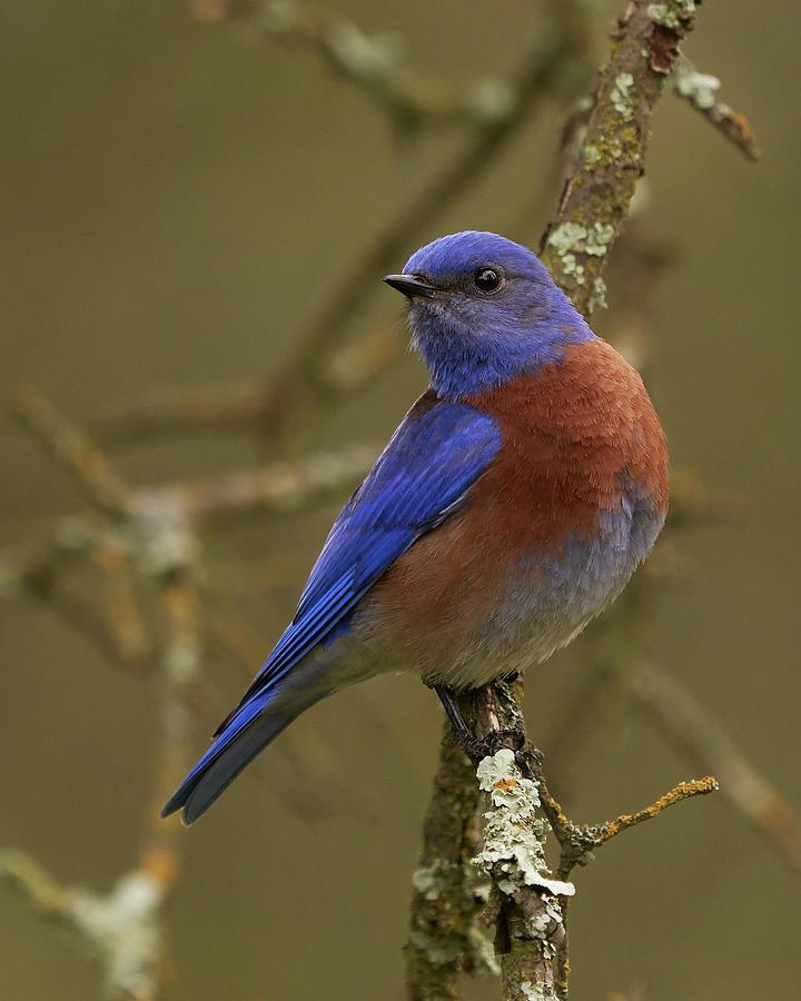 Birds Photograph - Western Bluebird, Sacramento County California by Doug Herr