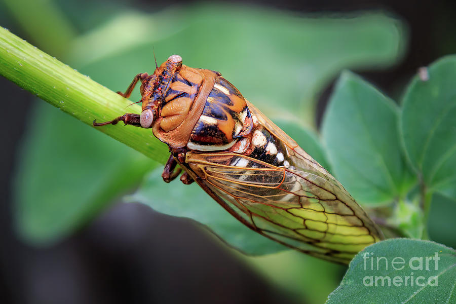 Landscape Photograph - Western Bush Cicada, also known as Coles by Richard Smith