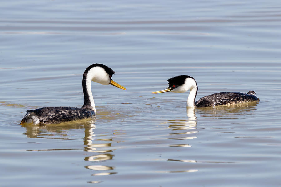 Western Grebes 2 by Michael Chatt