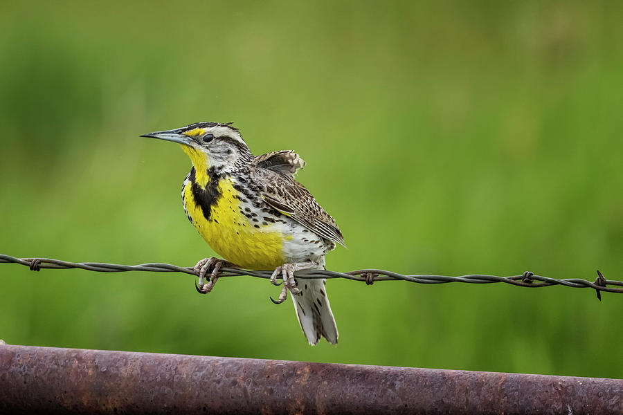 Western Meadowlark Hanging On Tight Photograph