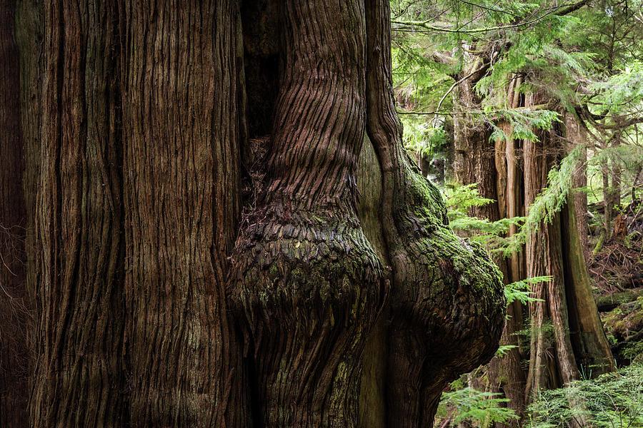 Western Redcedar Trees by Robert Potts