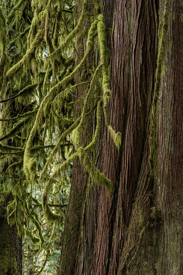 Western Redcedar With Moss by Robert Potts