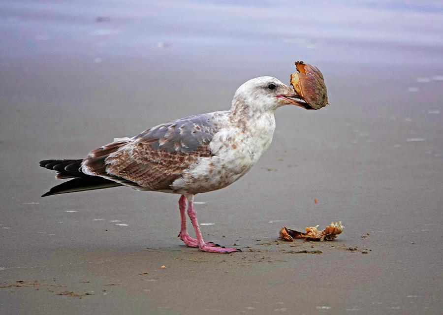 Western Seagull Feeding Photograph