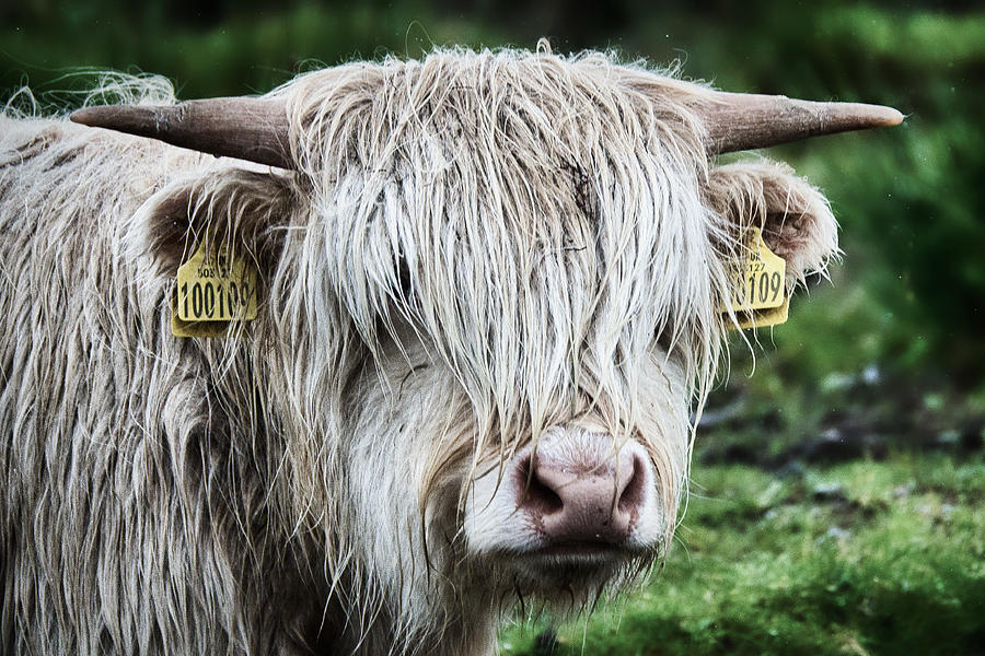 Wet Highland Cow - Scotland by Stuart Litoff