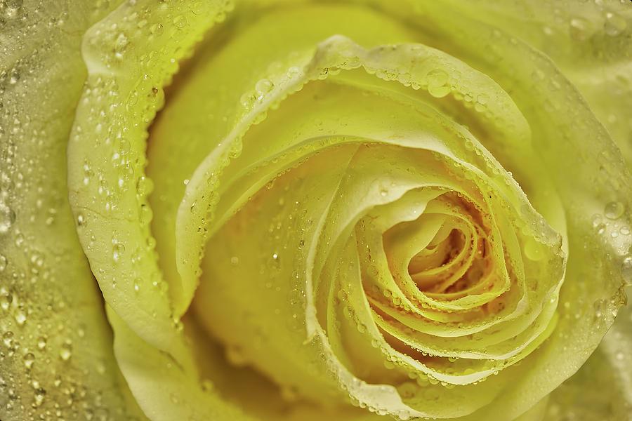 Wet Yellow Rose Photograph