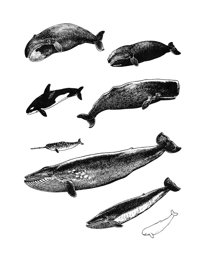 Whale Digital Art - Whale Chart by Madame Memento