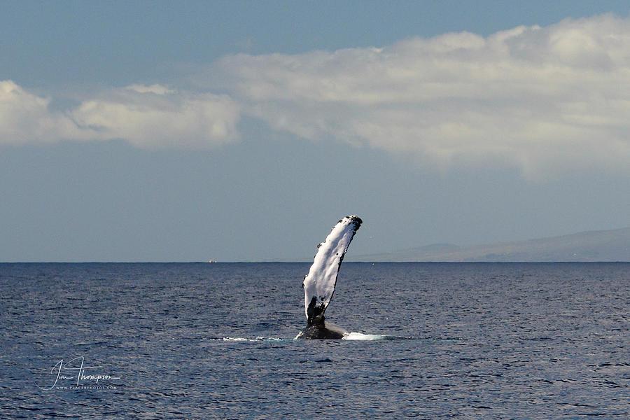 Hawai'i Photograph - Whale Fin by Jim Thompson