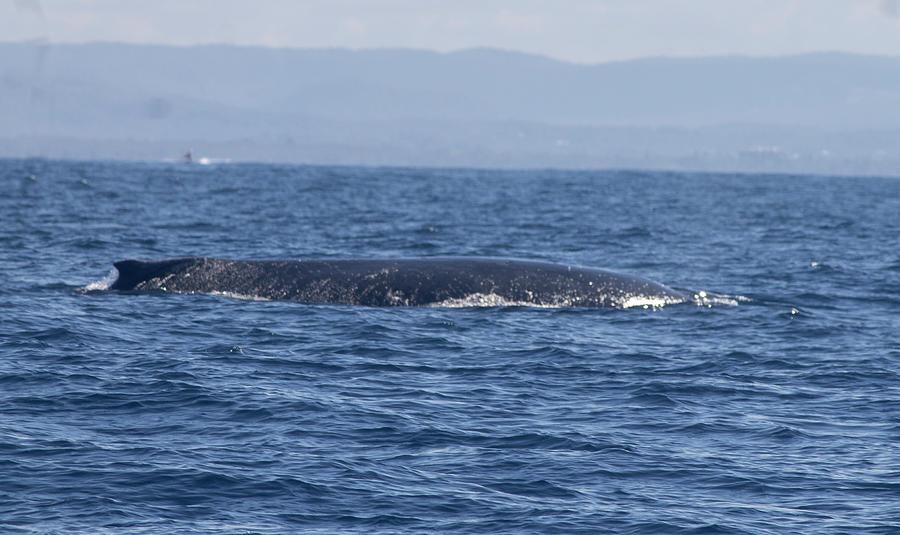 Whale Swim Photograph