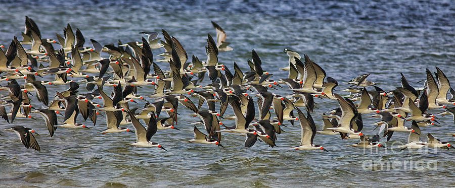 Black Skimmer Photograph - Where Are We Going?  Black Skimmers by Felix Lai