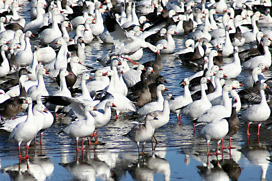 Where Is Goose Photograph