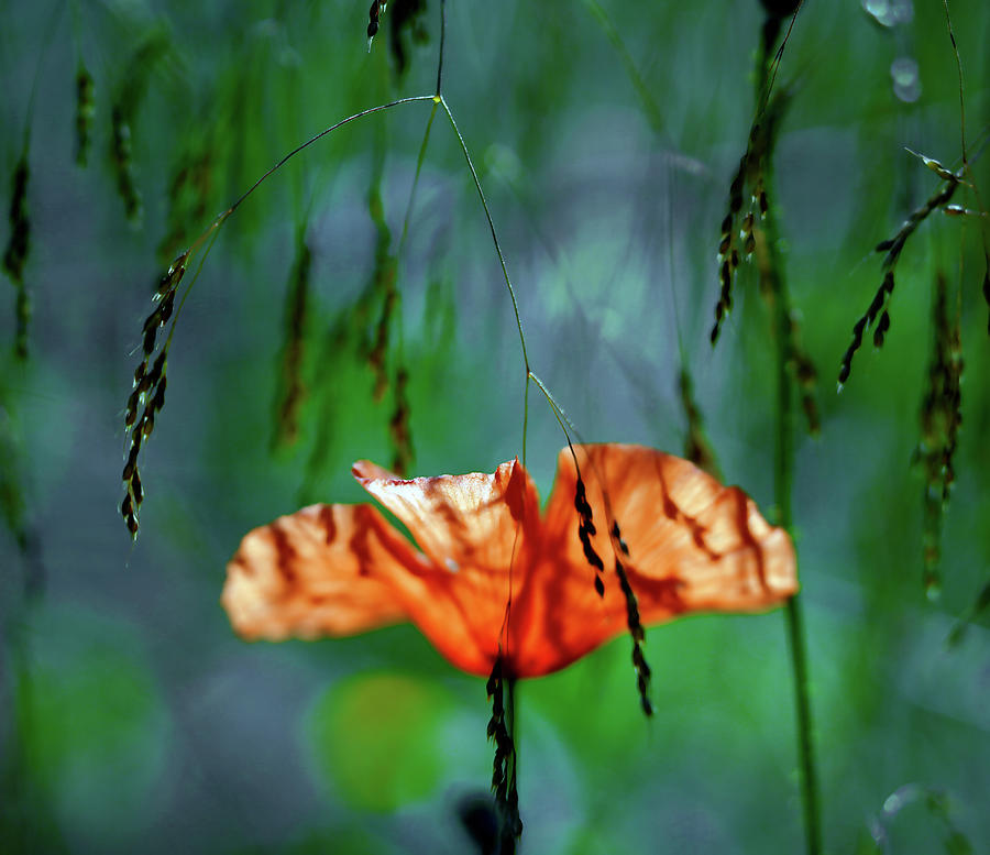 Whispering Poppy Within The Deep Forest Photograph