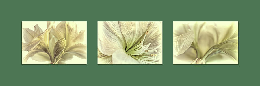 White Amaryllis Triptych Photograph