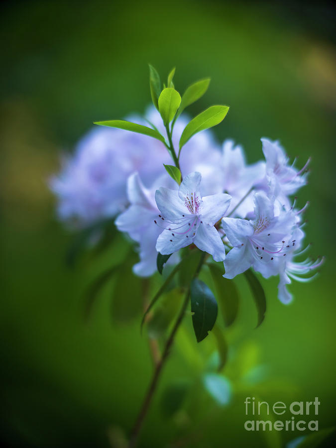 White Azaleas Ghostly Blooms Photograph