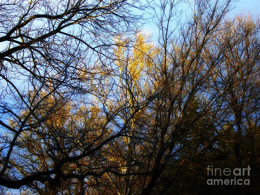 Nature Photograph - White Bark Golden Hour Sunset by Frank J Casella