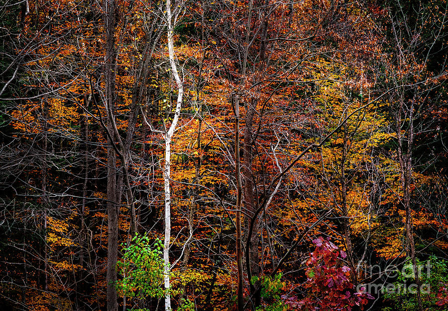 White Birch in Color by Craig J Satterlee