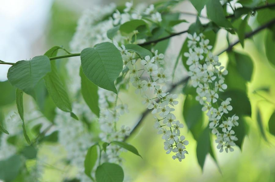 White Bloom Of Bird Cherry Tree 1 Photograph