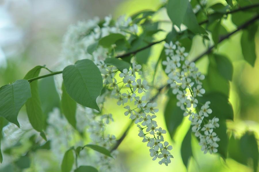 White Bloom Of Bird Cherry Tree Photograph