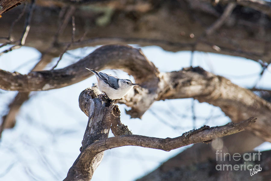Nature Photography Photograph - White Breasted Nuthatch by Alana Ranney