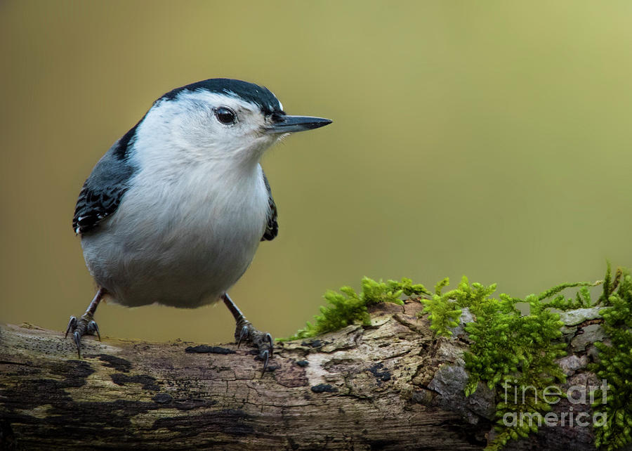 White-breasted Nuthatch by Katie Joya